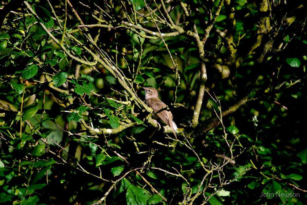 Nightingale In trees at Lackford, Luscinia megarhynchos by John Newson