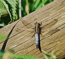 Blue/Gold Dragon fly, Broad-Bodied Chaser by John Newson