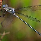 Archilestes grandis  (Great Spreadwing damselfly) by Dennis Jones - CameraView