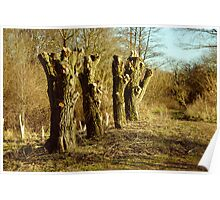 Row Of Willow Trees At Lackford Lakes Poster