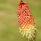 Red Hot Poker by dozzie
