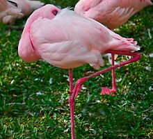 Pink as a Feather by rudyvasquezjr