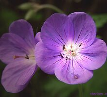 Cranesbill Blossoms by sknelson