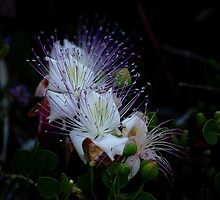 Maltese Caper Flowers by Anthony Vella