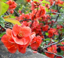 Red Plum Blossoms by Lauren Glover