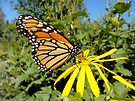 Monarch Butterfly on a Yellow Flower - Nature Photography by Barberelli