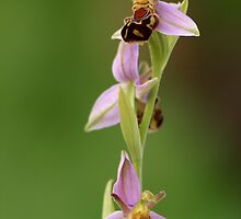 Bee Orchid ......... by godders