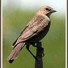 Female Cowbird by BigD