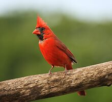 Go Cardinals! by Gregg Williams