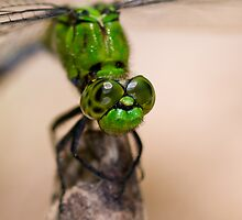 My friend the dragonfly by Bonnie T.  Barry
