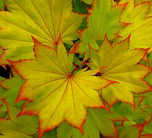 Sharp Acer by Mark Wilson