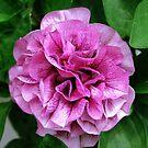 Pink Petals by Mark Wilson