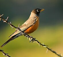 Robin on Barbed Wire by Ryan Houston