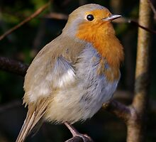 European robin by M G  Pettett