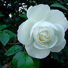 White Rose by Mark Wilson