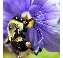 Bumble Bee on Pansy Photographic Print