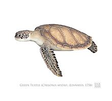 Green Turtle (Chelonia mydas) by StickFigureFish