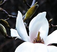 Magnificent Magnolia by Mary Ellen Tuite Photography