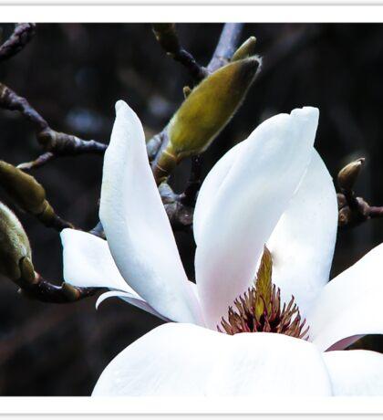 Magnificent Magnolia Sticker