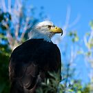 bald eagle watching by Kevin Williams