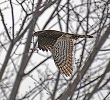 """ Sharp - shinned Hawk "" by Dave Addison"