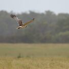 Swamp Harrier by Biggzie