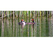 Young grebe fighting over fish........ Photographic Print