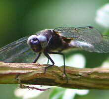 Dragonfly by jdmphotography