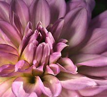 Shades of  Dahlia by Joy Watson