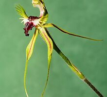 Mantis Orchid. by James Peake Nature Photography.