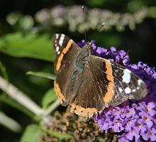 Red Admiral by John Newson