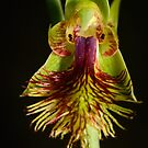Copper Beard Orchid. by James Peake Nature Photography.