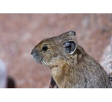 Pika Portrait Photographic Print