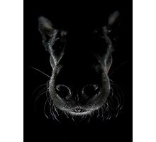 Australian cattle dog Gips head from above Photographic Print