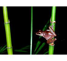 Vietnamese Frog Photographic Print