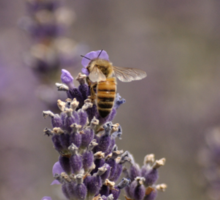 Lavender Fields, Oregon Sticker