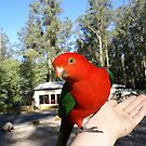 King Parrot by Ajmdc