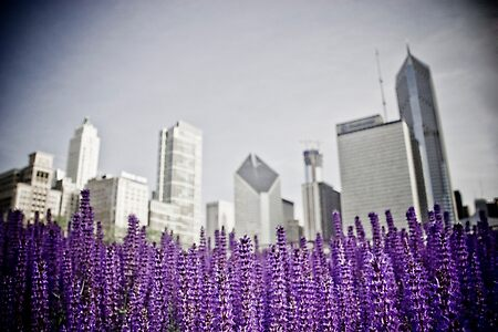 Lavender Fields - Chicago
