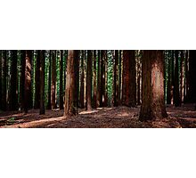 Californian Redwood Forest Photographic Print
