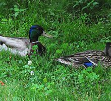 Sitting Duck by sholder