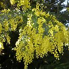 Wattle - Our Nation Flower by oiseau