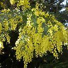 Wattle - Our Nation Flower by oiseau
