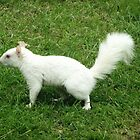 Albino Squirrel by davesphotographics