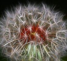 Dandelion by Darren Post