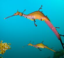 Weedy Seadragon  by LeanderWiseman