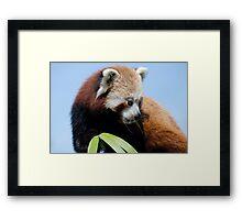 Red panda 2 Framed Print