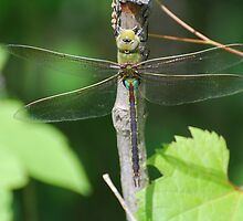 """ Dragon Fly - Green Darner "" by Dave Addison"