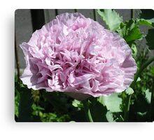 Opium Poppy Canvas Print