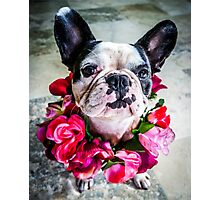 Frieda The French Bulldog  Photographic Print