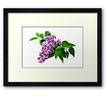 Lilacs and Leaves Framed Print
